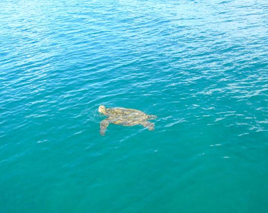 Pacific Whale Foundation: green sea turtle along side the boat.