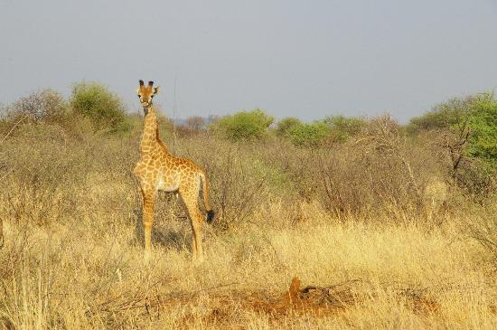 Mosetlha Bush Camp & Eco Lodge: just born