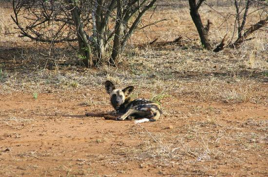 Mosetlha Bush Camp & Eco Lodge: wild dog
