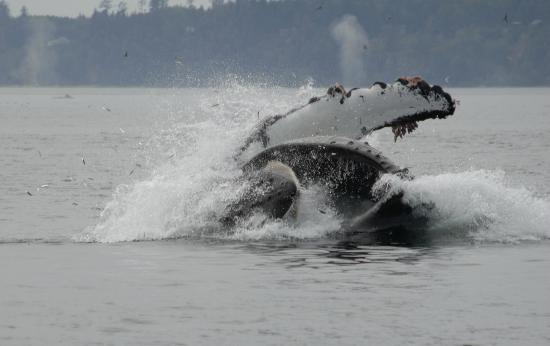 Grizzly Bear Lodge & Safari: Whale watching in Johnstone Strait