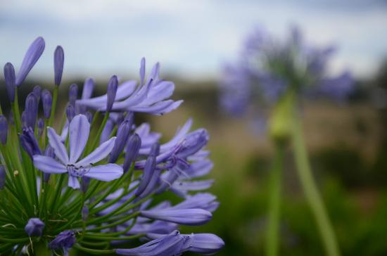 Lillydale Farmstay: we woke up to these purple flowers