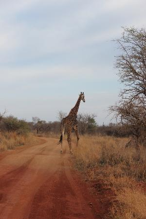 Etali Safari Lodge: giraffe crossing