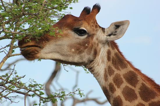 Etali Safari Lodge: beautiful giraffes