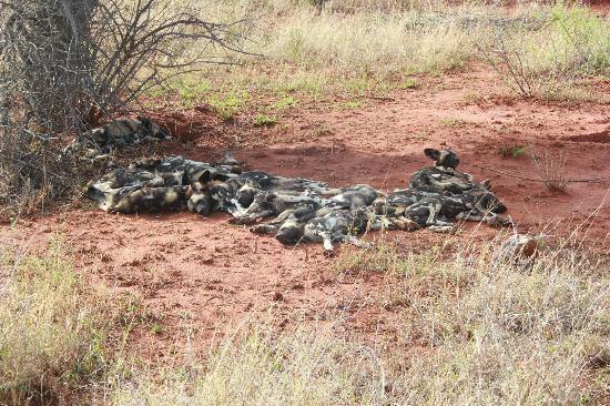 Etali Safari Lodge: Pack of wild dogs