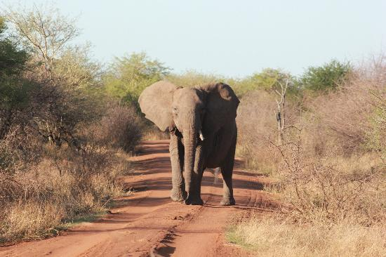 Etali Safari Lodge: Had to put it in reverse when mama elephant headed for us