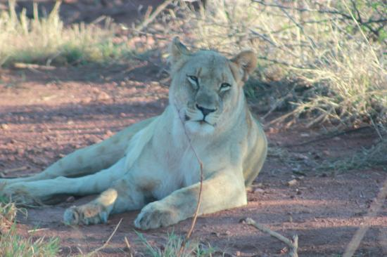 Etali Safari Lodge: Pregnant lioness resting in the shade