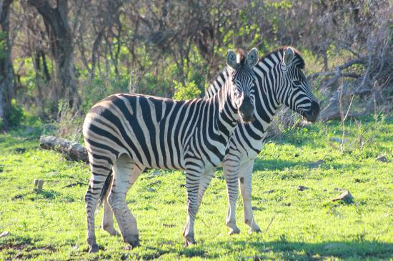 Etali Safari Lodge: loys of zebra