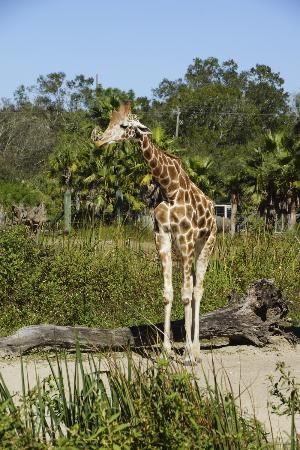 ZooTampa at Lowry Park: Friendly Giraffe