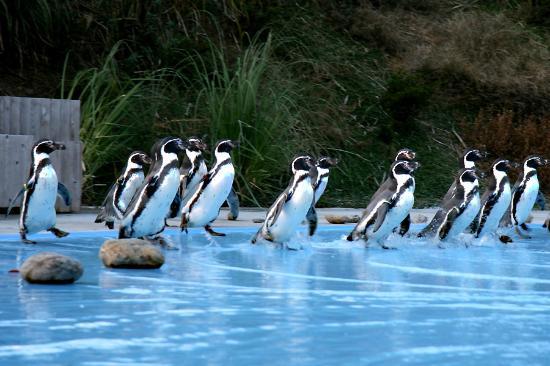 Хигасимацуяма, Япония: ペンギンの餌付けタイムは是非見ましょう。
