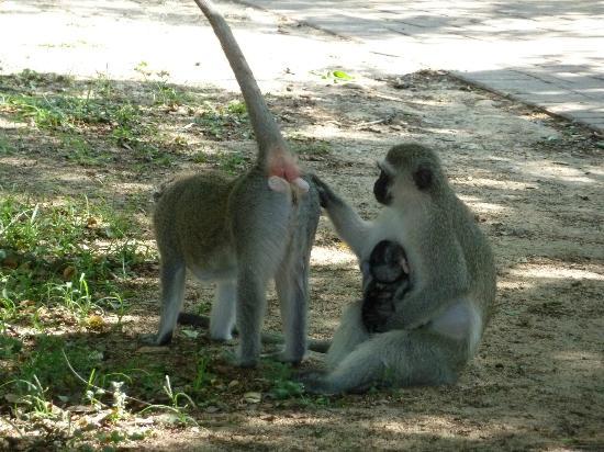 Skukuza Rest Camp: Monkeys