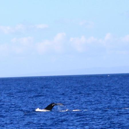 Pacific Whale Foundation: humpback diving under ..just the flukes !