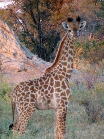 Lagoon Camp - Kwando Safaris: baby giraffe
