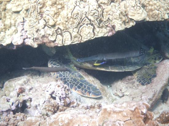 ‪‪Maui Sands‬: Trumpetfish pretending to be Turtle fins‬