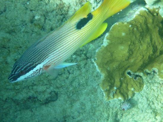 Maui Sands: Hawaiian Hogfish at Kapalua Bay
