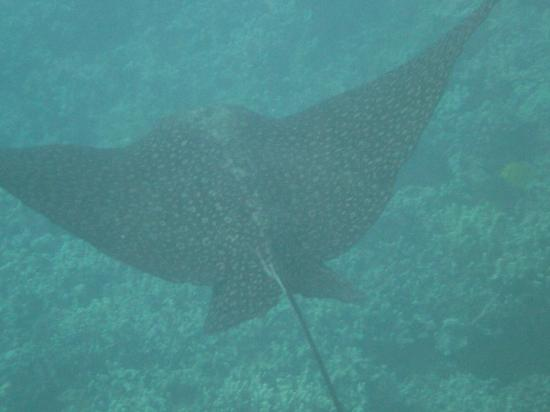 Maui Sands: broad stingray