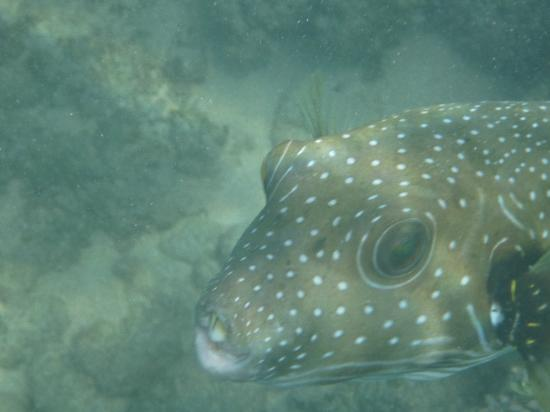 Maui Sands: Stripebelly Puffer