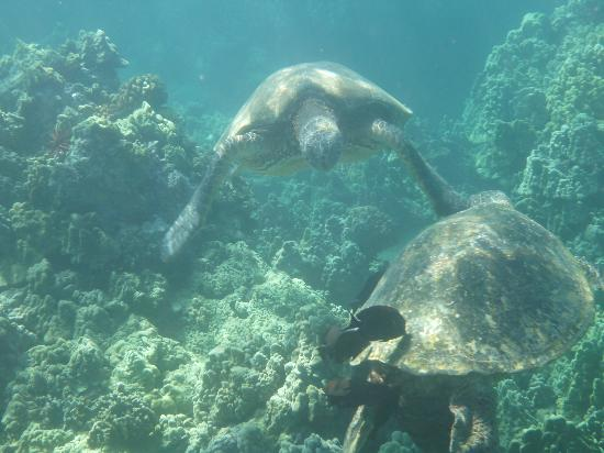 Maui Sands: Green Sea Turtles posing to be cleaned