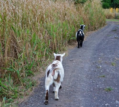 Puakea Ranch: I love goats! Here are Romeo and Julia heading home to their house.