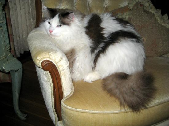 Pratt-Taber Inn: Max the Inn's ragdoll cat mascot