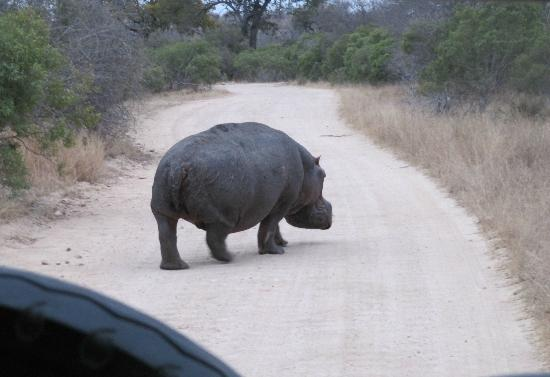 Jock Safari Lodge: Hippo crossing!