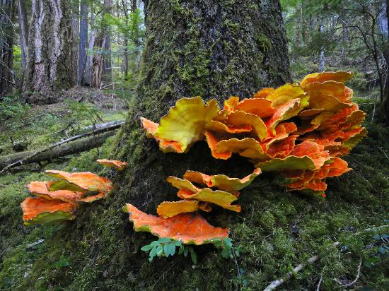North Cascades Highway: Fluoro Fungi on the Thunder Creek Trailhead