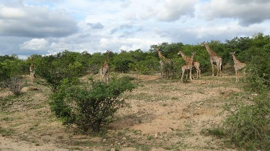 Mopaya Safari Lodge: Girafe au Mopaya Lodge