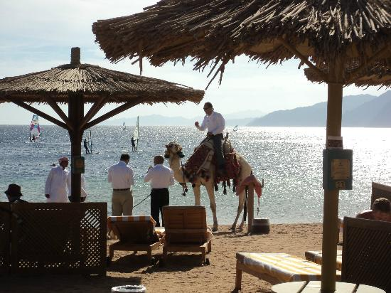 Dahab Resort: camel came to us on beach- no hasselling to take part