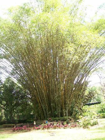 Davao City, Filipinas: Bamboo Trees
