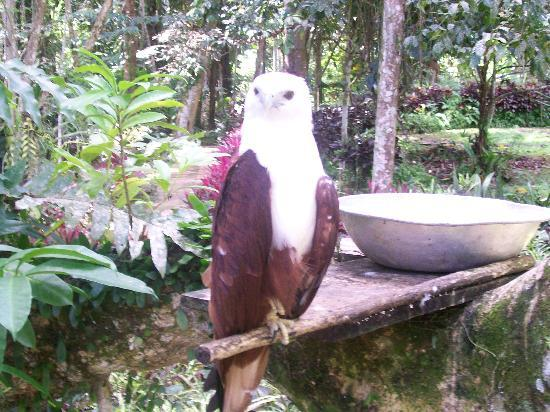 Philippine Eagle Centre: Camera-friendly Brahminy Kite