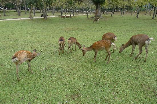 Парк Нара: Deers
