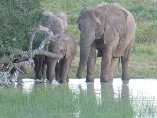Woodbury Lodge: Elephants at Waterhole