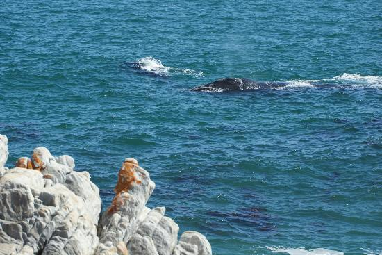 Whalesong Lodge: Mother and calf seen from the cliff path
