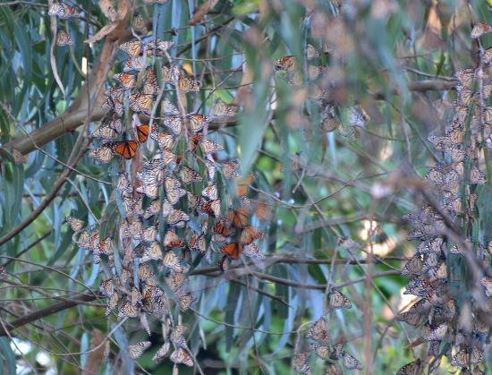Natural Bridges State Beach: Monarch butterflies