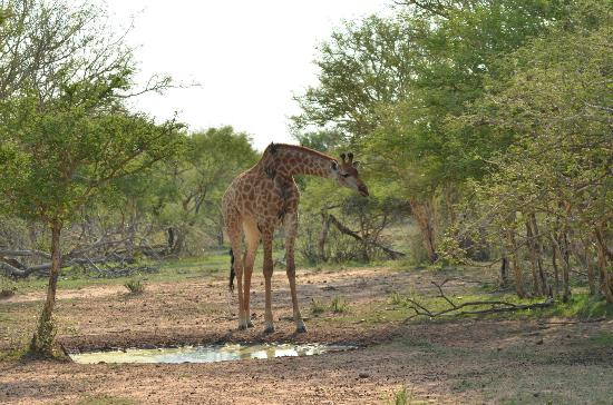 Marataba Safari Lodge: Giraffe 2