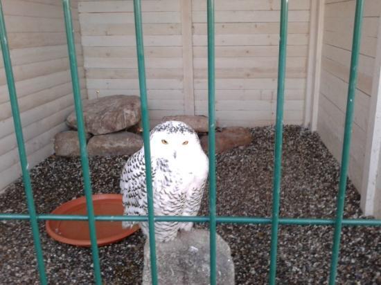 Woodlands Falconry and Bird of Prey Centre.: Snowy Owl