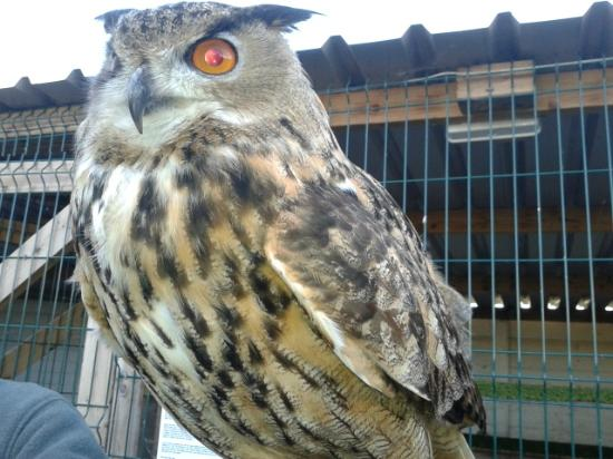 Woodlands Falconry and Bird of Prey Centre.: Great Eagle Owl
