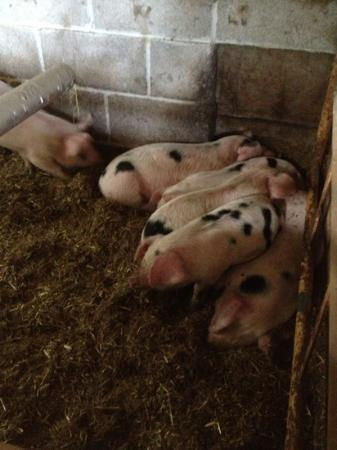 Spillers Farm : The pigs at feeding time!