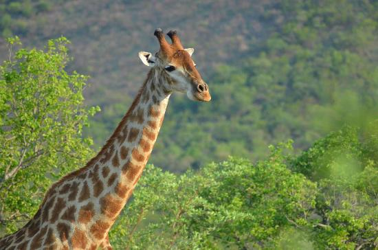 Marataba Safari Lodge: Giraffe