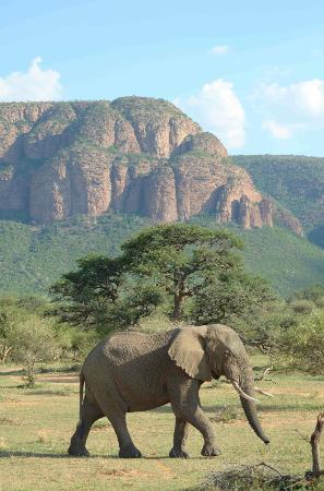 Marataba Safari Lodge: Elephant against backdrop of Waterberge
