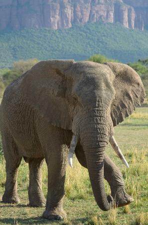 Marataba Safari Lodge: Elephant near lodge