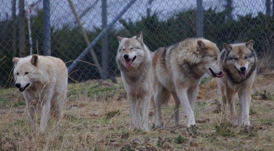 California Wolf Center Picture