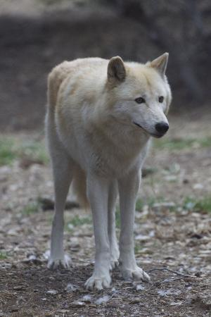 California Wolf Center: Wolf