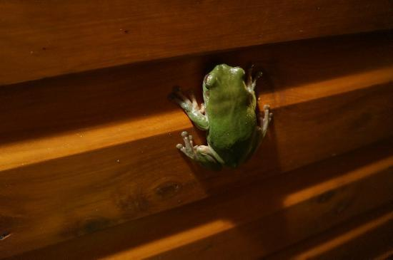 Hibiscus Lodge: tree frog