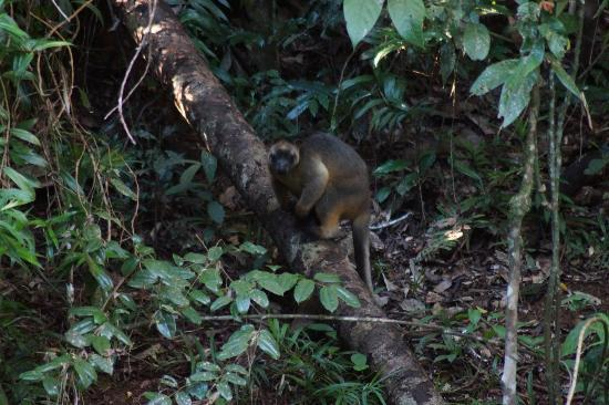 Malanda Falls Caravan Park: Tree Kangaroo visiting the CP