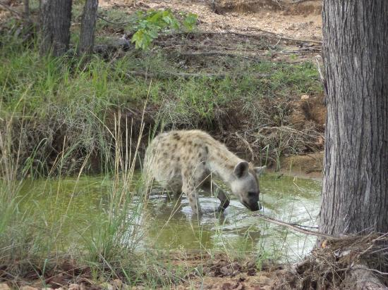 Motswari Private Game Reserve: Hyena