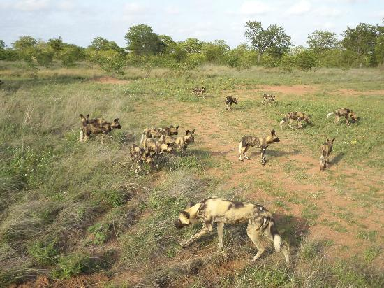 Motswari Private Game Reserve: Wild dogs with young