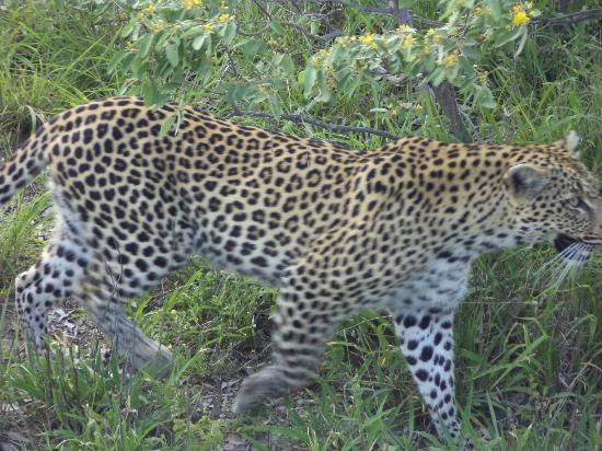 Motswari Private Game Reserve: Leopard