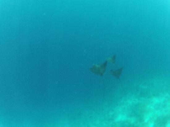 Kuramathi Island Resort: Snorkeling eagle rays