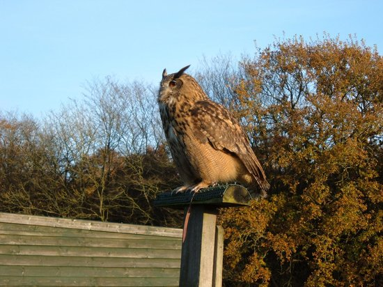 Woodchurch, UK: European Eagle Owl