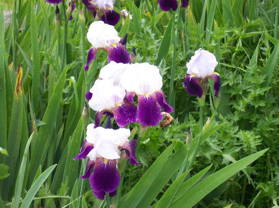 Rosendale Inn Bed and Breakfast: Spring Irises in bloom everywhere